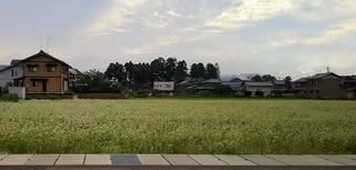 福井県越前町そば畑.JPG